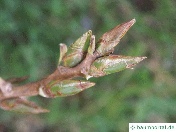 kanadische Pappel (Populus canadensis) Knospe