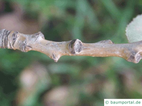 kanadische Pappel (Populus canadensis) Zweig