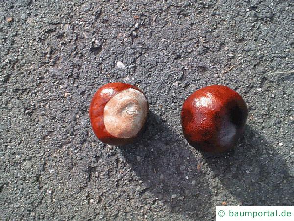 Kastanie (Aesculus hippocastanum) Frucht