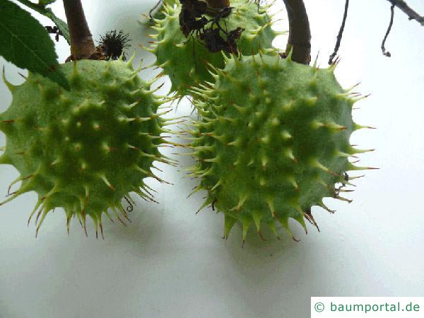 Kastanie (Aesculus hippocastanum) Früchte
