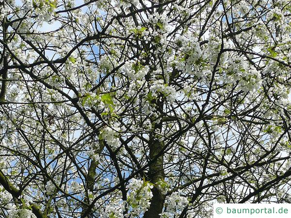 Kirsche (Prunus avium) Blüten