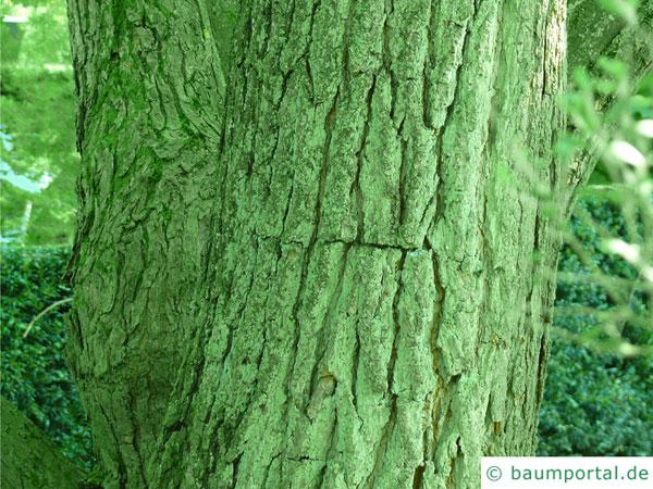 kleinblütiger Trompetenbaum (Catalpa ovata) Stamm / Rinde / Borke