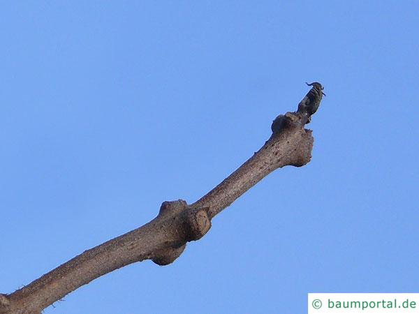 kleinblütiger Trompetenbaum (Catalpa ovata) Zweig im Winter