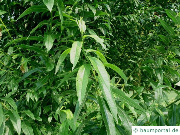 Knack-Weide (Salix fragilis) Blätter