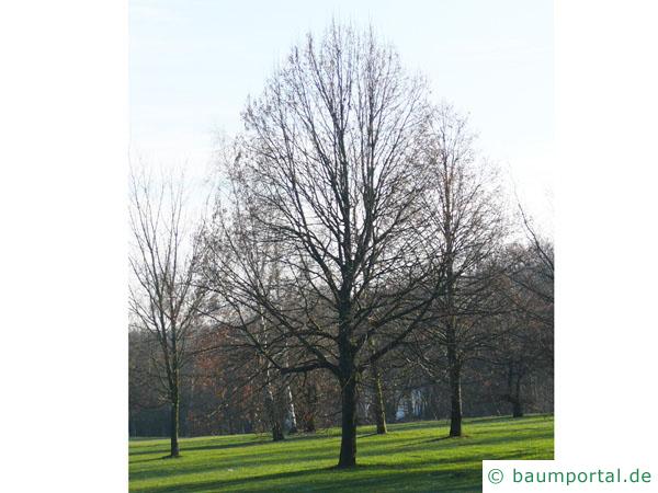 Krim-Linde (Tilia x euchlora) Baum im Winter