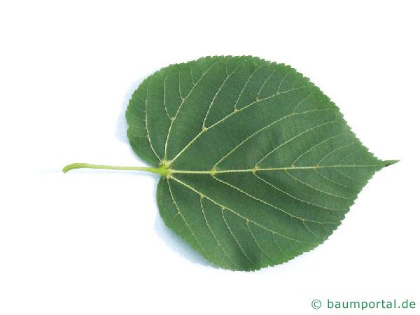 Krim-Linde (Tilia x euchlora) Blattunterseite