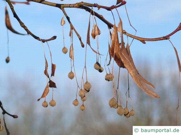 Krim-Linde (Tilia x euchlora) Früchte