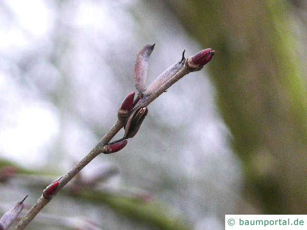 Kuchenbaum (Cercidiphyllum japonicum) Endknospe