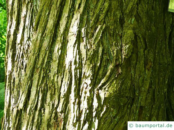 Kuchenbaum (Cercidiphyllum japonicum) Stamm / Borke / Rinde