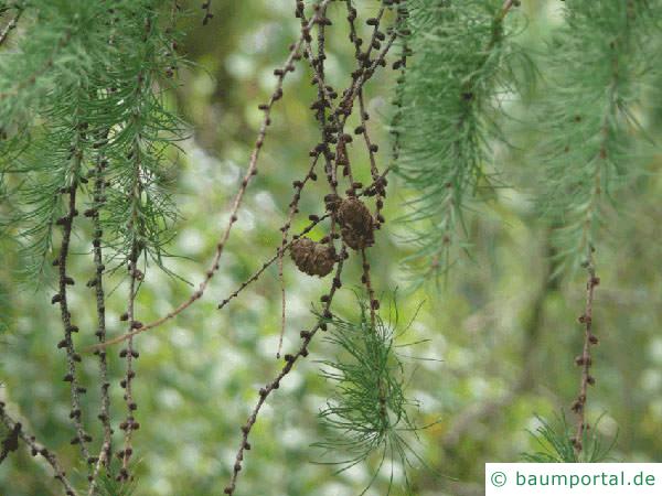 Lärche (Larix decidua) Zapfen im Sommer