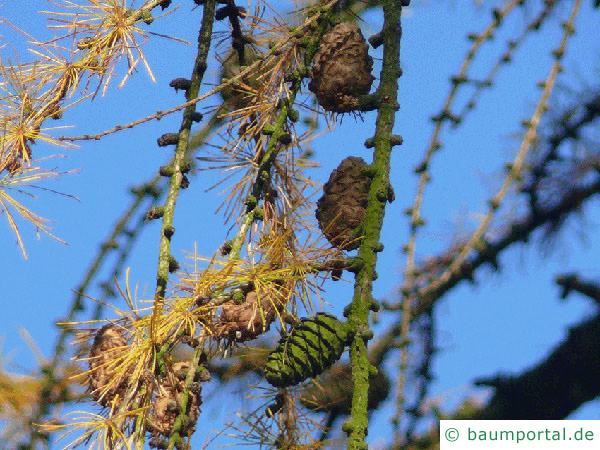 Lärche (Larix decidua) Zapfen im Winter