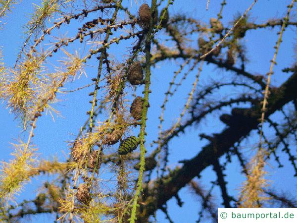 Lärche (Larix decidua) Äste im Herbst