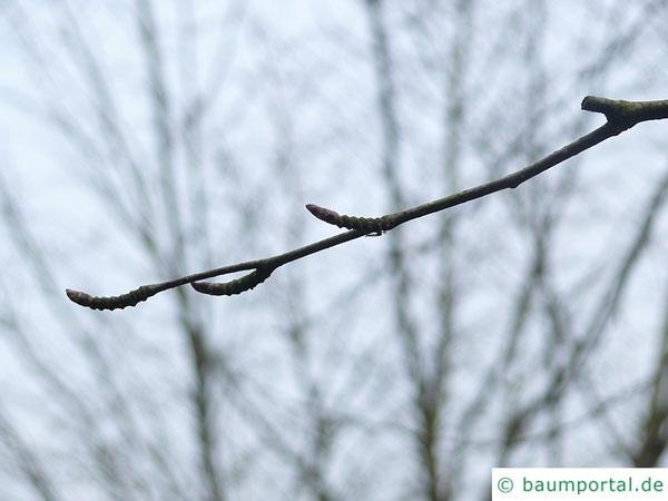 lindenblättrige Birke (Betula maximowicziana) Zweig im Winter