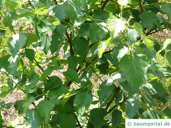 Moor-Birke (Betula pubescens) Blätter