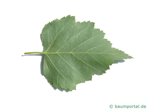 Moor-Birke (Betula pubescens) Blattrücksite
