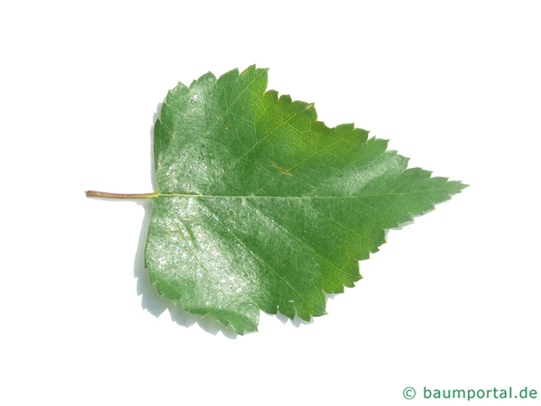 Moor-Birke (Betula pubescens) Blatt