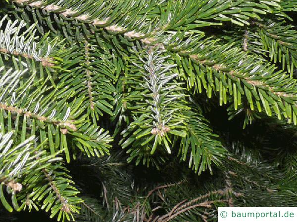 Nordmann Tanne (Abies nordmanniana) Zweige
