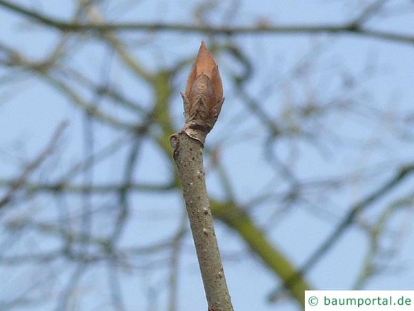 Ohio Kastanie (Aesculus glabra) Endknospe