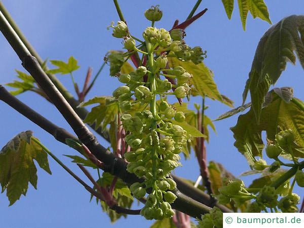 Oregon-Ahorn (Acer macrophyllum) Blüte