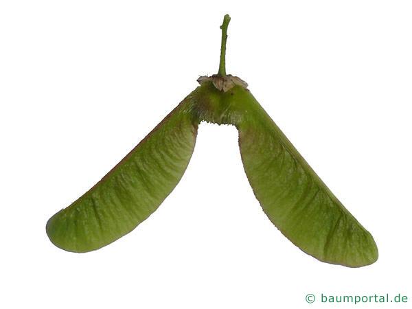 Ahorn Frucht Name : oregon ahorn acer macrophyllum ~ Frokenaadalensverden.com Haus und Dekorationen
