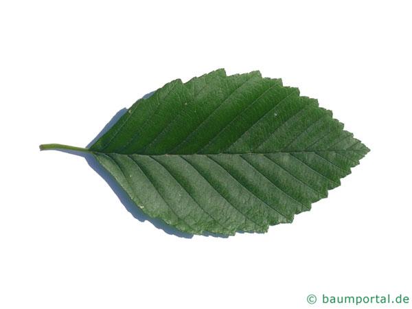 Rot-Erle (Alnus rubra) Blatt