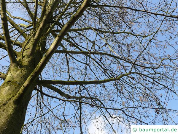 Rot-Erle (Alnus rubra) Krone im Winter