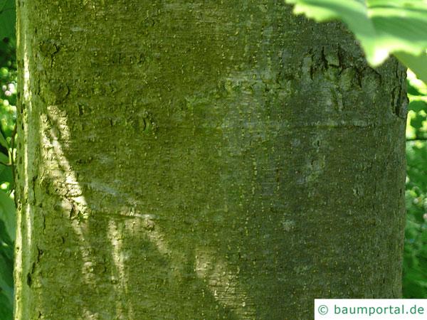 Rot-Erle (Alnus rubra) Stamm / Rinde / Borke