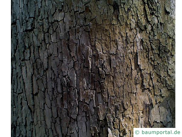 orientalische Platane (Platanus orientalis) Stamm / Borke / Rinde