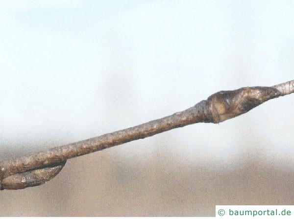 Papier-Birke (Betula papyrifera) Seitenknospe