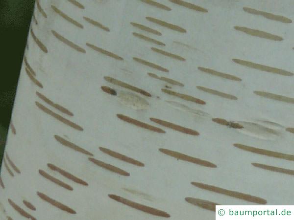 Papier-Birke (Betula papyrifera) Rinde