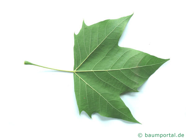 Platane (Platanus acerifolia) Blattunterseite