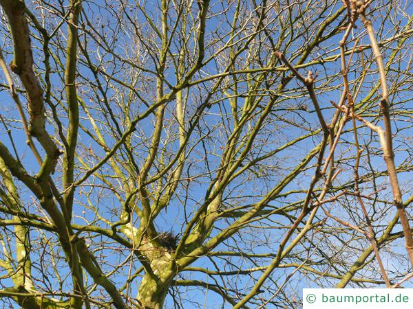 Platane (Platanus acerifolia) Krone im Winter