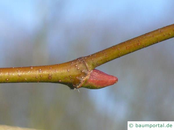 Platane (Platanus acerifolia) Seitenknospe