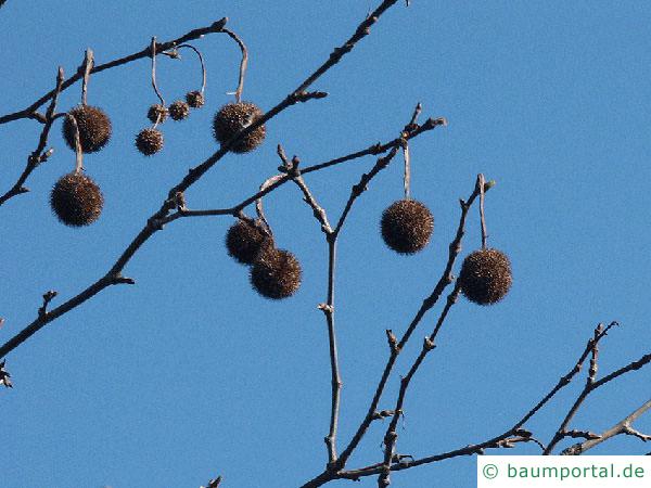 Platane (Platanus acerifolia) Wintermerkmale
