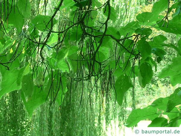 prächtiger Trompetenbaum (Catalpa speciosa) Früchte (Schoten)