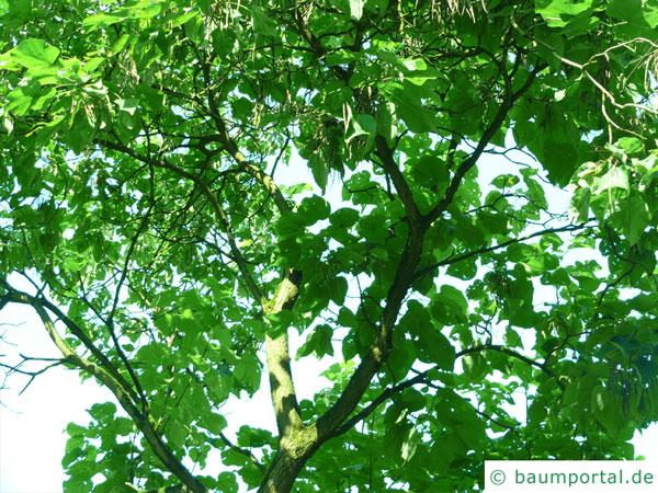prächtiger Trompetenbaum (Catalpa speciosa) Baum im Sommer