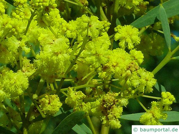 Quorn Akazie (Acaia quornensis) Blüte