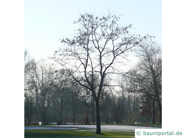 Robinie (Robinia pseudoacacia) Baum im Winter