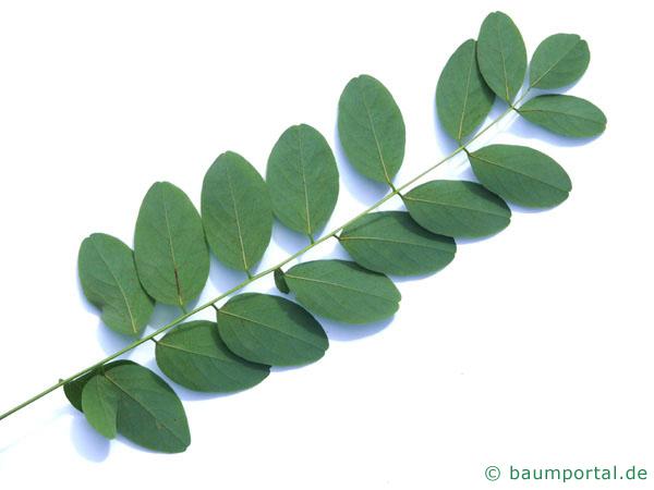 Robinie (Robinia pseudoacacia) Blattunterseite