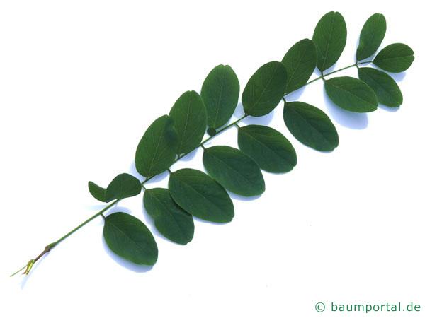 Robinie (Robinia pseudoacacia) Blatt