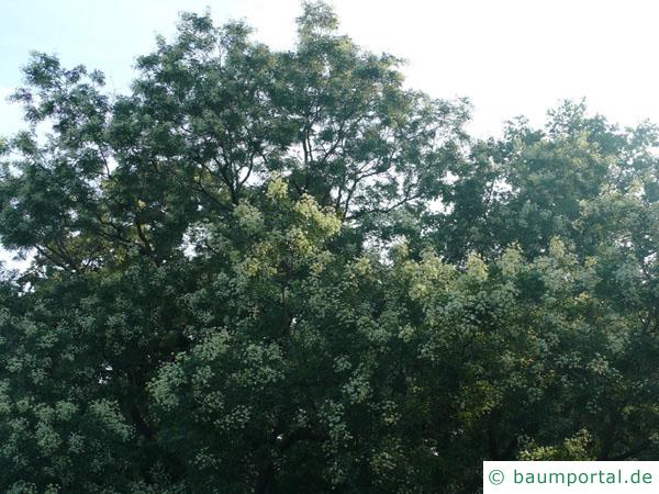 Robinie (Robinia pseudoacacia) Blüten