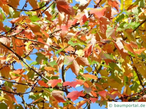 Rot-Ahorn (Acer rubrum) Herbstlaub
