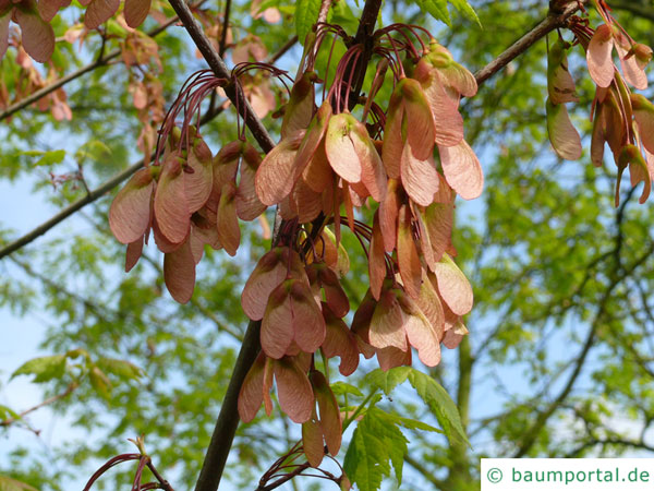 Rot-Ahorn (Acer rubrum) Spaltfrüchte geflügelte Nüsschen