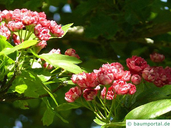 Rot-Dorn (Crataegus laevigata 'Paul's Scarlet') Blüten