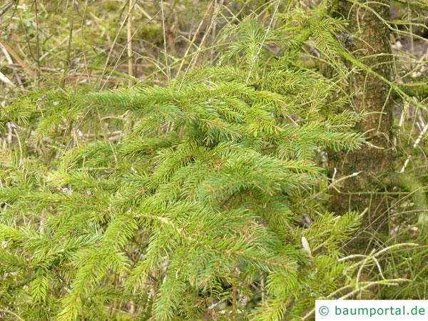 Rot-Fichte (Picea rubens) Ast mit Zweigen