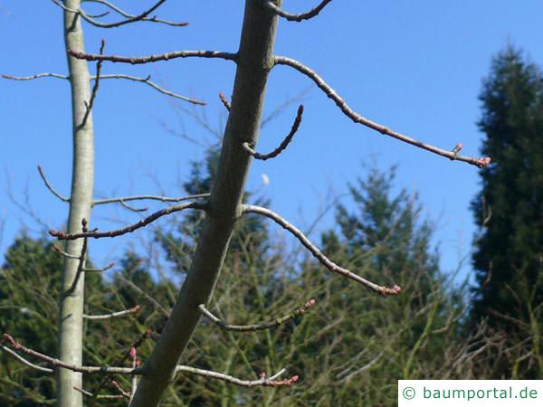 Rot-Ahorn (Acer rubrum) Ast