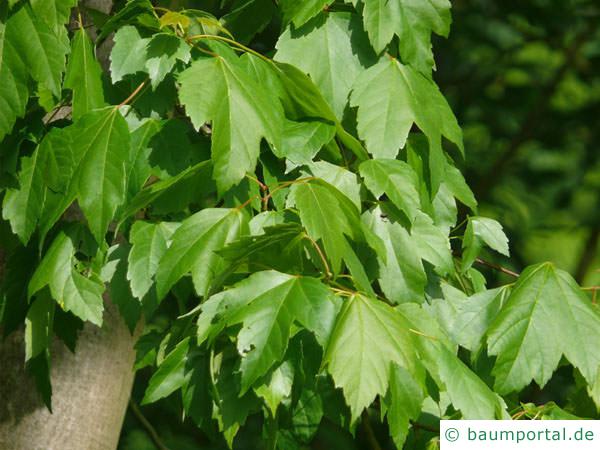 Rot-Ahorn (Acer rubrum) grüne Blätter