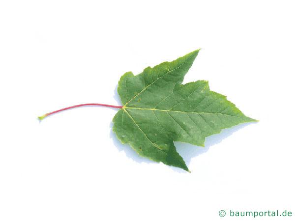 Rot-Ahorn (Acer rubrum) Blatt