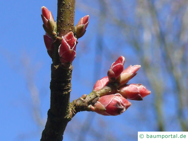 Rot-Ahorn (Acer rubrum) Blütenknospen im Frühjahr