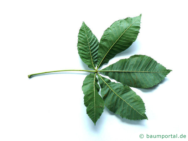 rotblühende Kastanie (Aesculus carnea) Blattunterseite